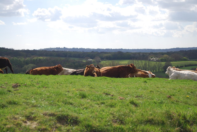Cattle, Lower Snailham