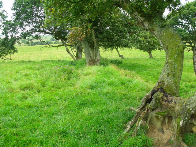 Mature trees on line of old field boundaries near Berryhill by Morpeth