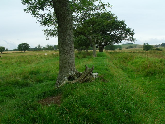Mature trees on line of old hedge/boundary near Berryhill by Morpeth