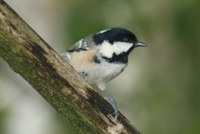 A Coal Tit by Spynie Loch (Periparus ater)