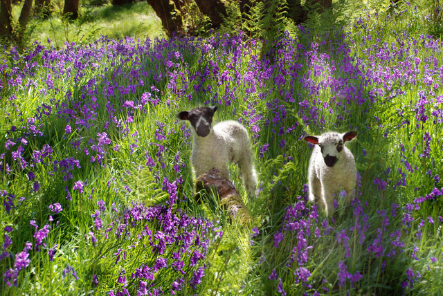 Bowland - among the bluebells