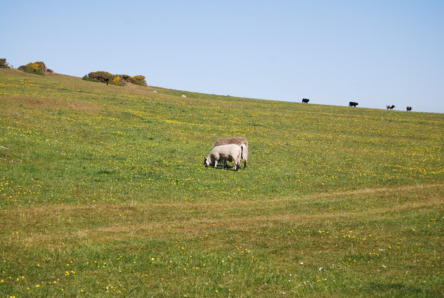 Sheep, The Heugh