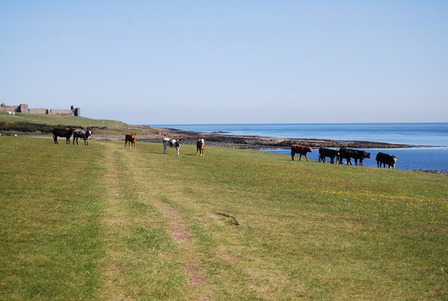 Cattle, St Oswald's Way
