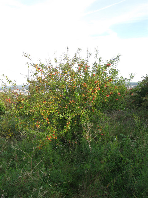 Apple Tree, Whitehawk Hill
