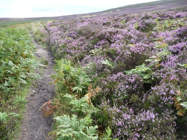 Heather beside the path below Chwarel y Fan in August