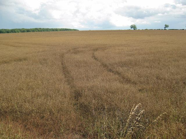 White Flax awaiting Harvest