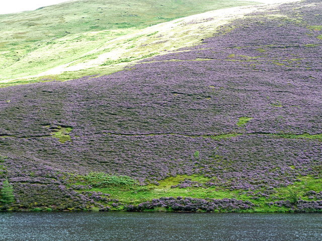 Luxuriant heather clothes the hillside above Glencorse