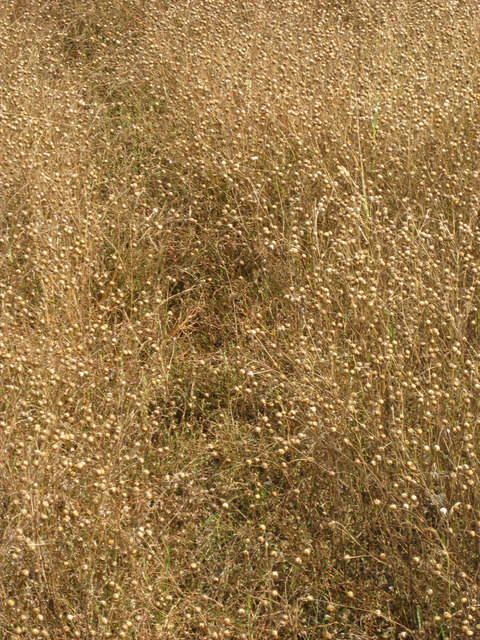 White Flax