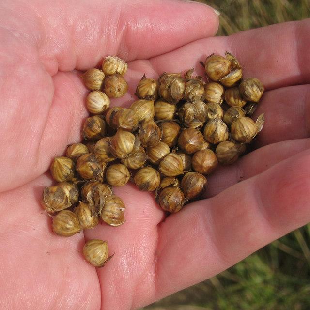 White Flax Seed