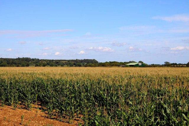 Field of sweetcorn near Longcot