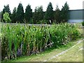 SE2511 : Bulrushes lining the duck pond by Christine Johnstone