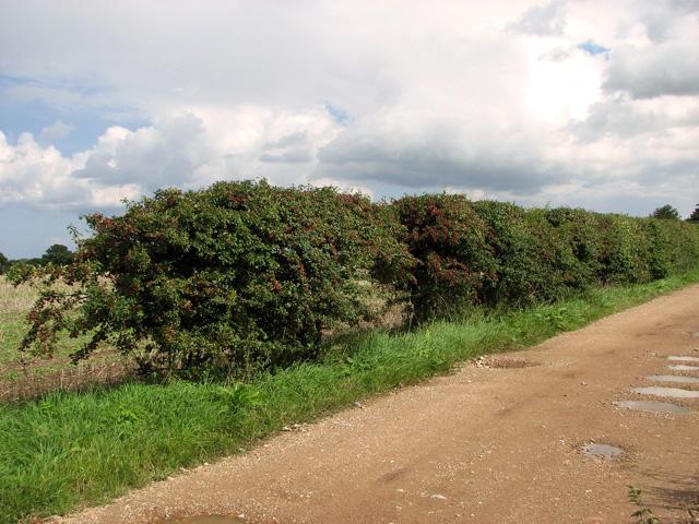 Hawthorn hedge beside Mill Lane, Briningham