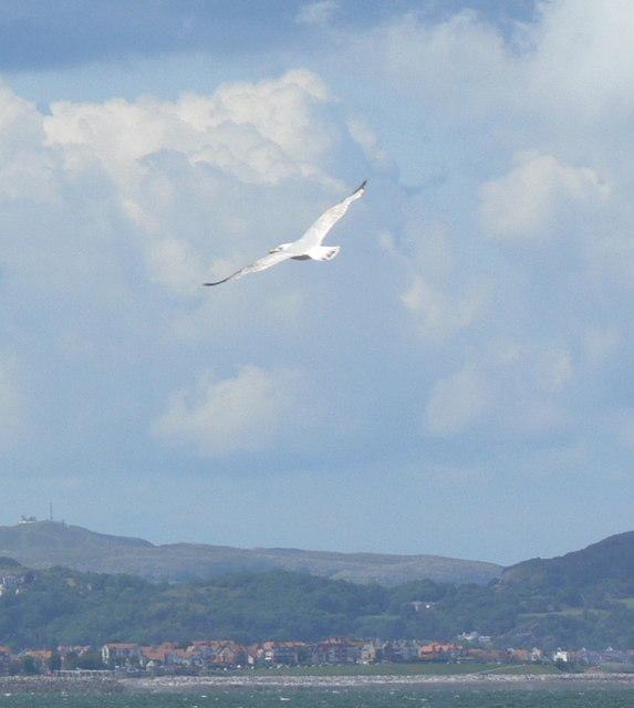 Seagull at Llanddulas beach