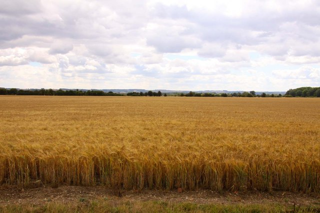 Wheatfield near Drayton