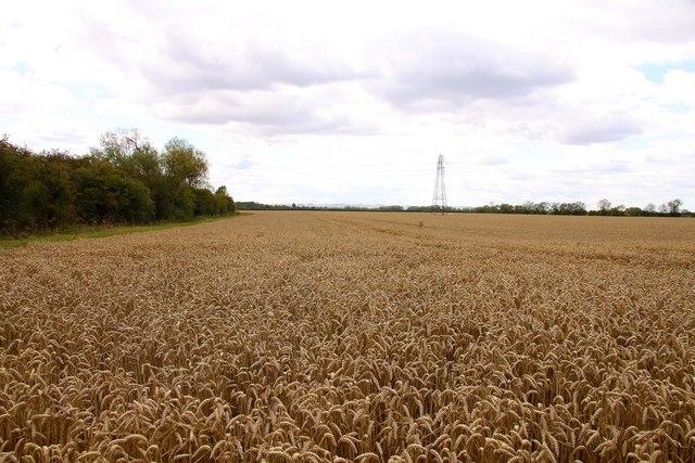 Wheatfield near Marcham Mill