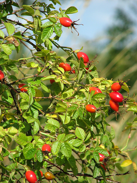 Rosehips beside the path