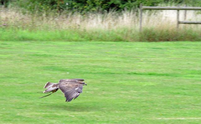 Flying display: Raptor in flight