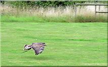TM1459 : Flying display: Raptor in flight by Roger Jones