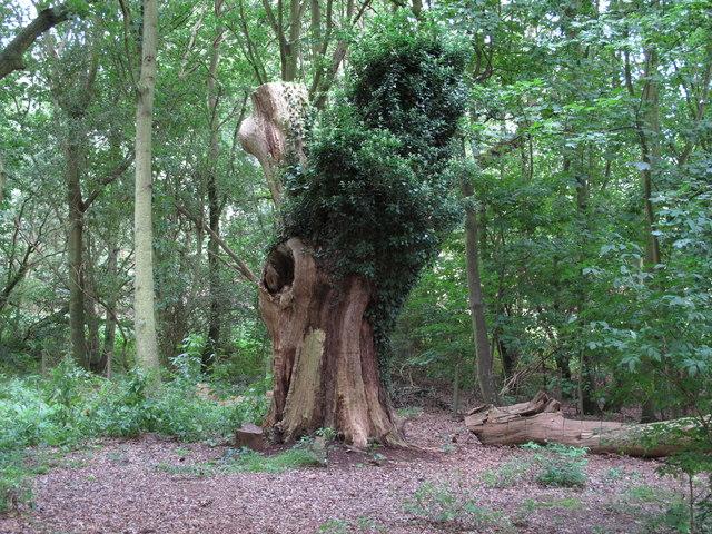 Dead tree just off footpath