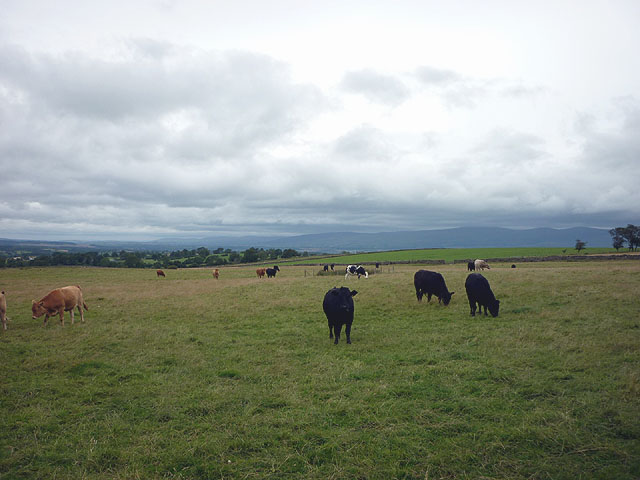 Cattle above Maulds Meaburn