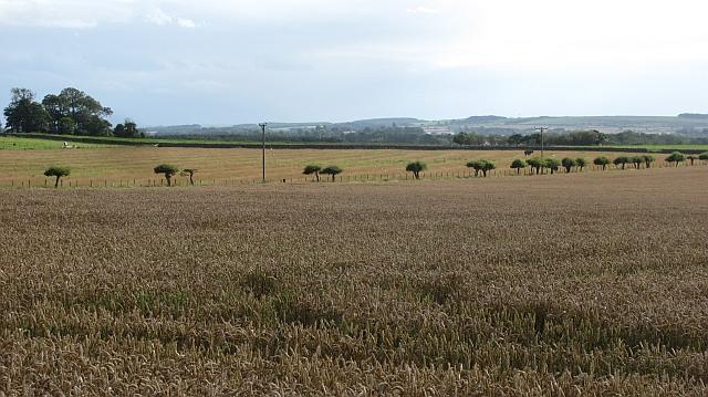 Wheat field, Swinhoe