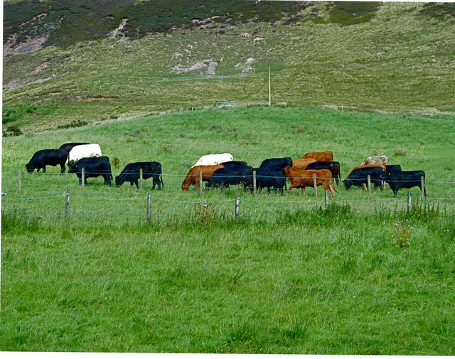 Charolais, Luing and Aberdeen Angus cattle in the Pentlands