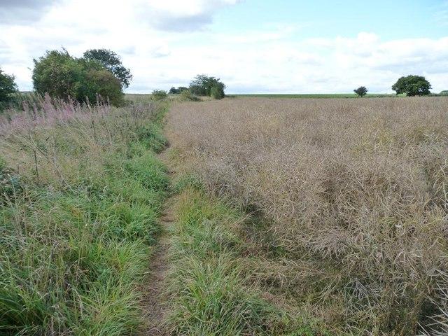 Path along the edge of an oil seed rape field