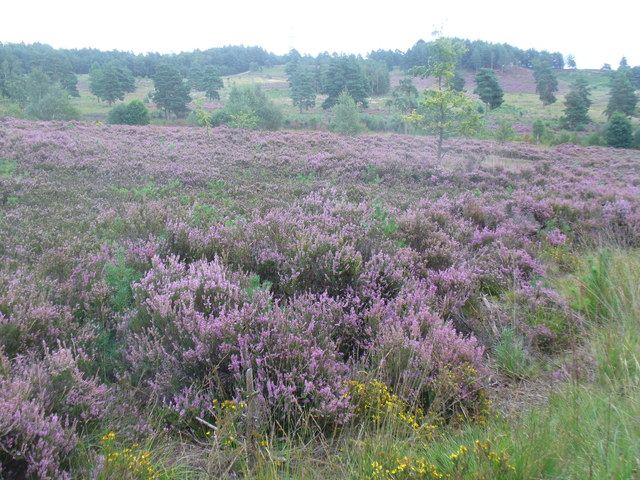 Heather in Bloom, Wishmoor Bottom