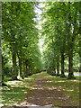 SK6276 : Lime Tree Avenue by Richard Croft