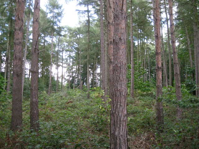 Scots Pine and Larch, Sixteen Acre Wood