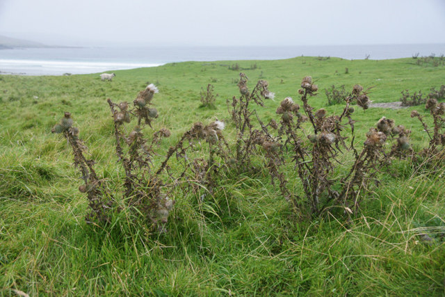 Autumnal thistles in August, Easting beach