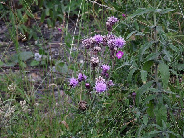 Wild flowers (Creeping Thistle) near the tracks