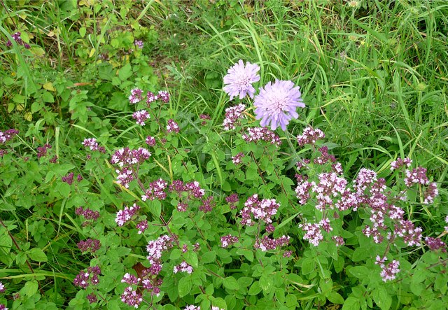 Wild marjoram and scabious