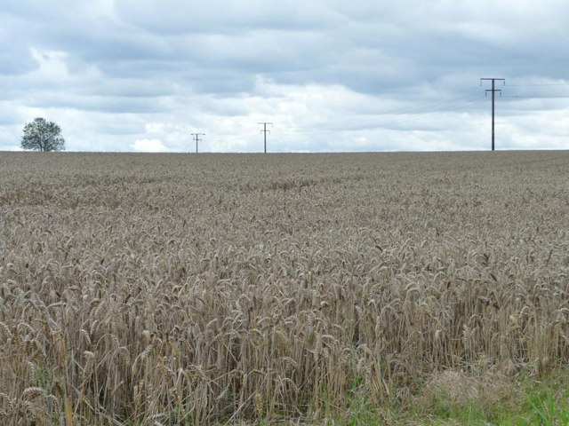 Telegraph poles crossing a wheatfield
