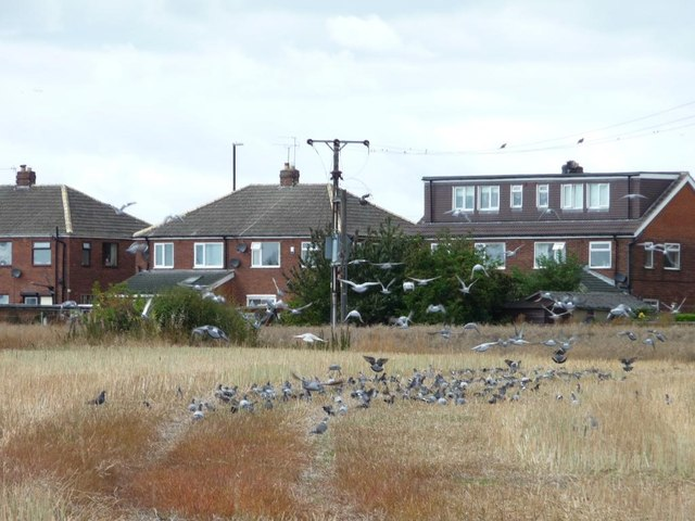 Wood pigeons and feral pigeons on a stubble field