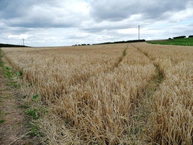 Tracks in the barley