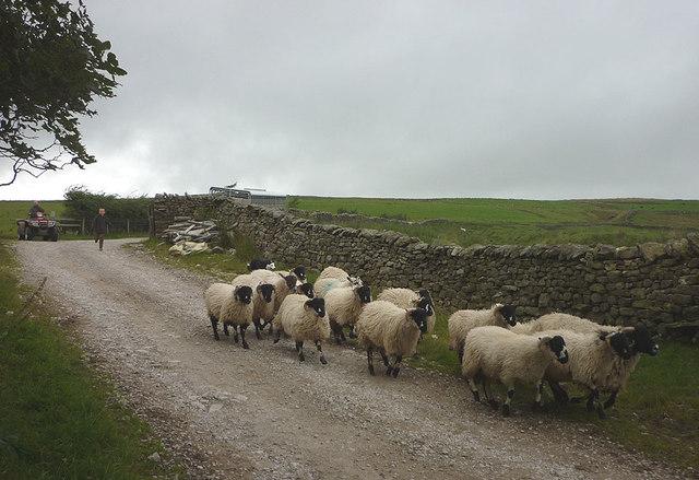 Sheep at Deep Clough