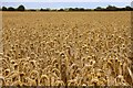 SU4695 : Wheatfield near Marcham Mill by Steve Daniels