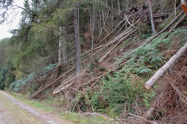 Fallen trees below Creag an Tuill, Achray Forest