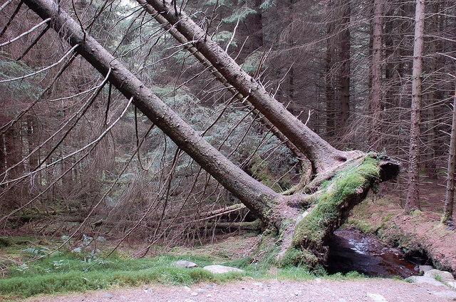 Half-fallen trees in Achray Forest