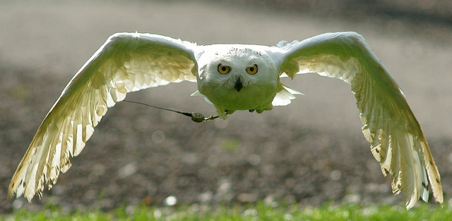 Low-flying 'Hedwig'