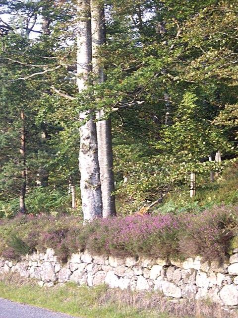 A heatherclad wall by Blackstock Wood