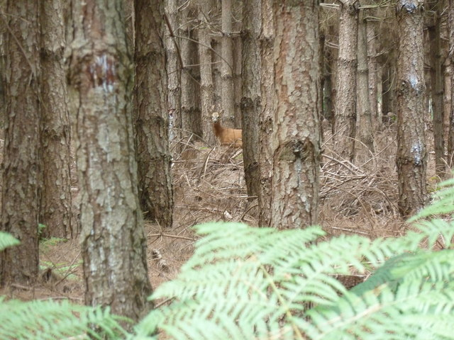 Deer in coniferous woodland on Lord's Common