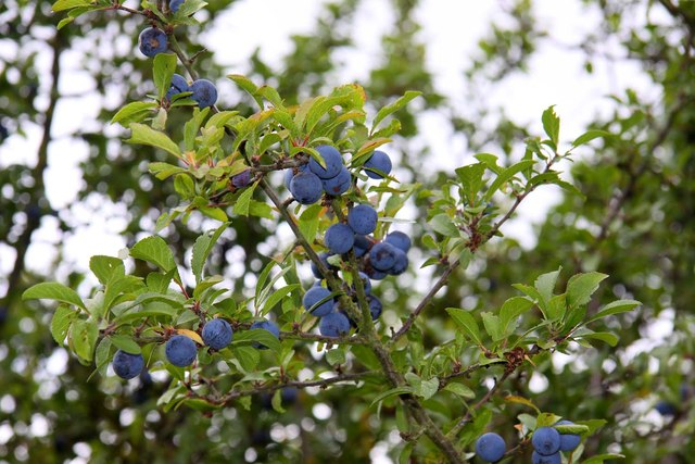 Sloes by the bridleway