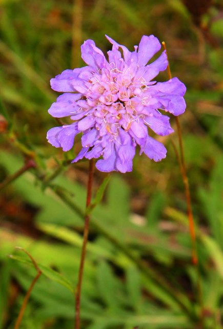 Field scabious on the bridleway