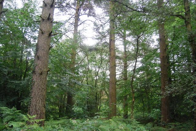 Conifers, Black Down