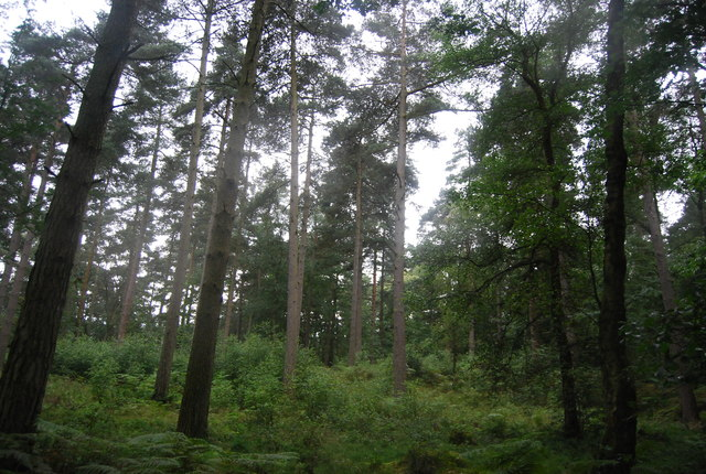 Conifer woodland, Black Down