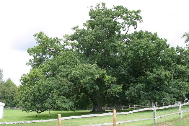 Pashley Manor oak tree opposite car park