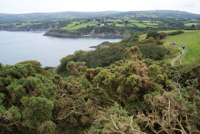 Non-flowering gorse by the coast path on Dinas Island