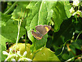 TQ0522 : Brown Hairstreak butterfly by Robin Webster